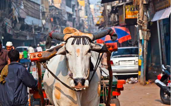 A cow walking along a street in Delhi
