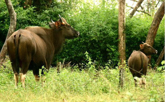 bison in nagarhole national ark