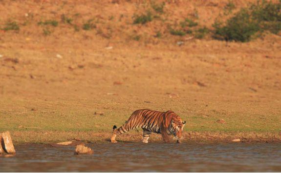 tiger kabini wetlands