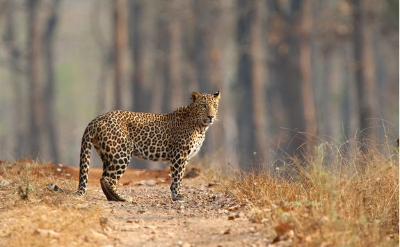 leopard in nagarhole national ark
