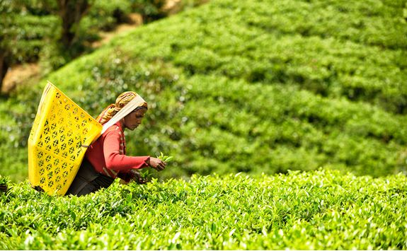 A tea farmer picking tea leaves