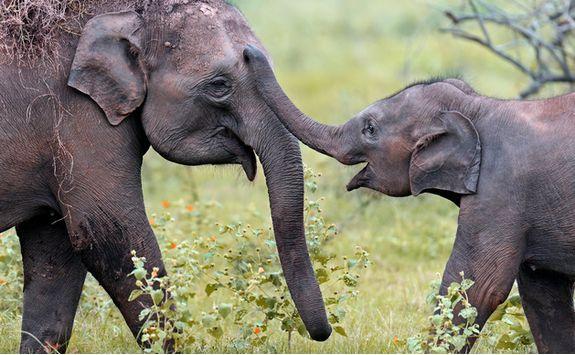 Elephants playing in Yala