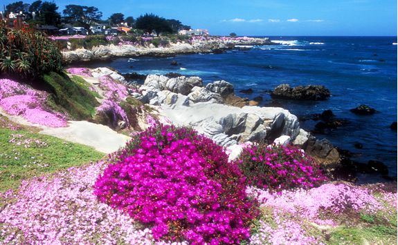 Ice Plant on the Monterey