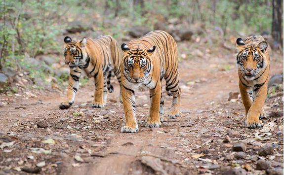 Tigers, India