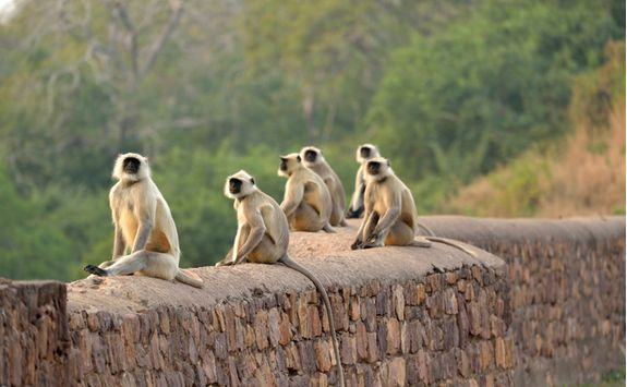 Monkeys, Ranthambore