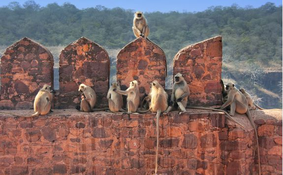 Monkeys, Rajasthan