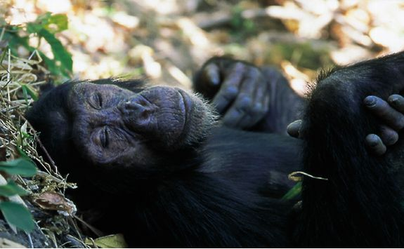 Chimp sleeping in Tanzania