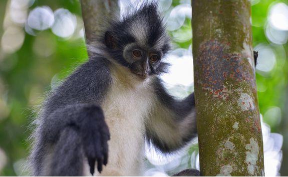 bukitlawang_monkey_close_up