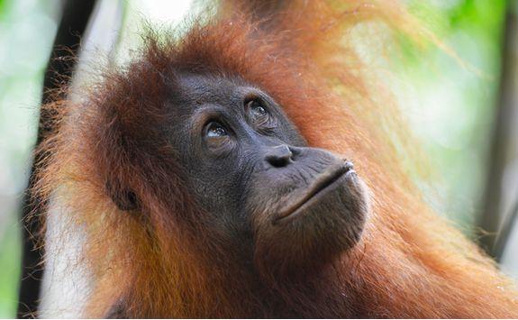 orangutan_close_up