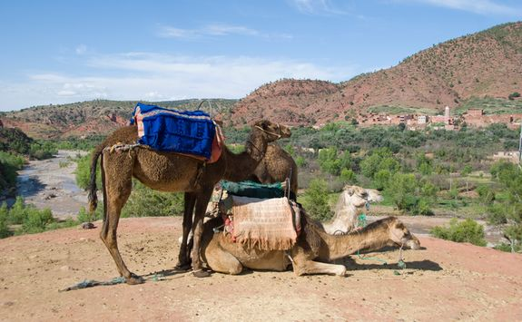 camels atlas mountains