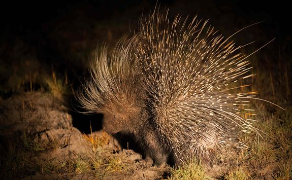 Nocturnal African porcupine