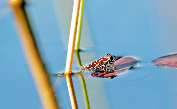 Painted Reed Frog in the water