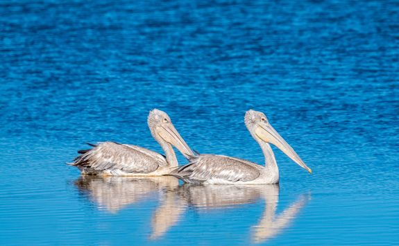 Pink backed pelicans