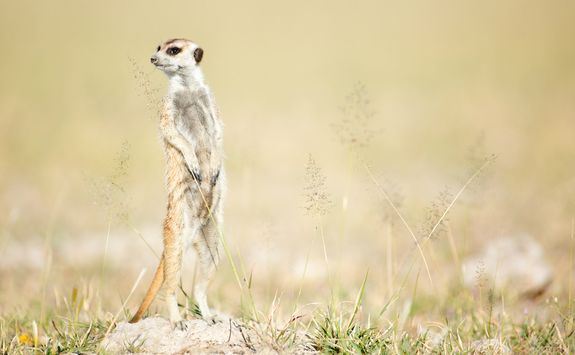 Lone meerkat in the Kalahari