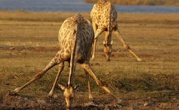 Giraffe drinking at watering hole