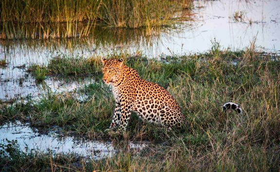 Leopard sitting in the marsh