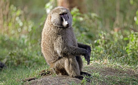 Lone baboon