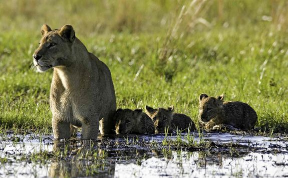 Lion with cubs in water