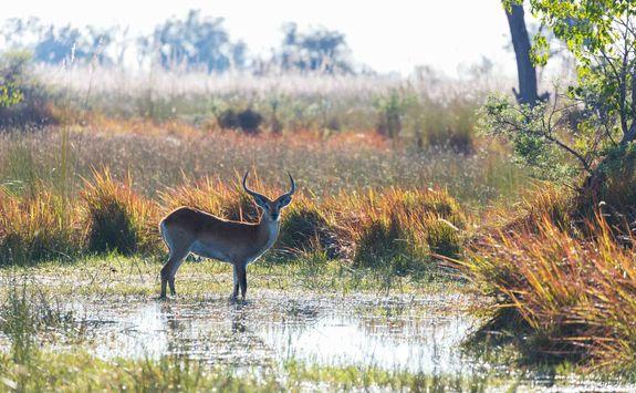 Lechwe in the marsh