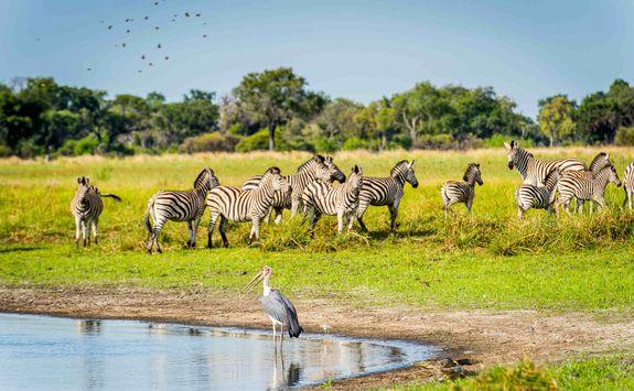 Flock of Zebra on water's edge