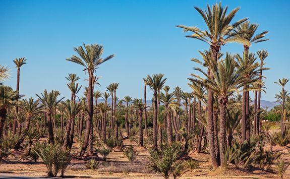 Palm groves outside Marrakech