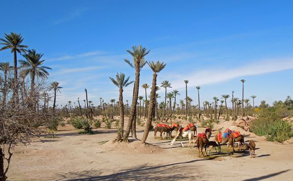 Palm groves and camels in the desert