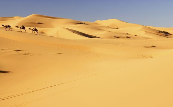 Camels in the sand dunes