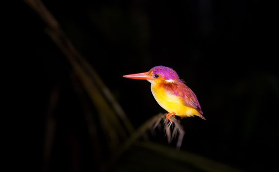 Colourful nocturnal bird