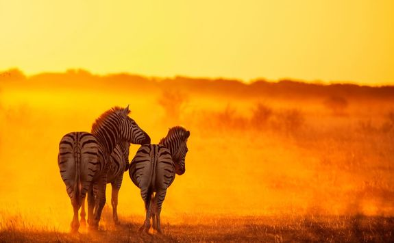 Zebras in golden light