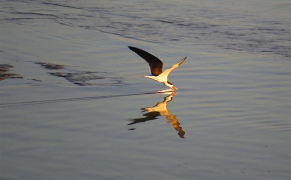 Bird skimming river