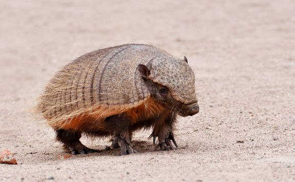 Nine banded armadillo