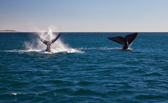 Whales Puerto Piramides