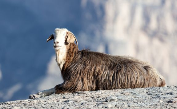 Hajar mountain goat