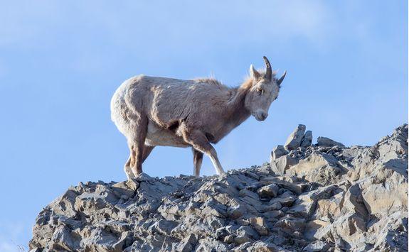 Little bighorn sheep