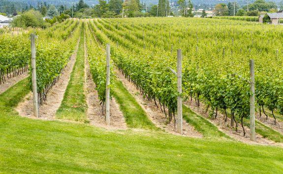Victoria vineyard in Canada