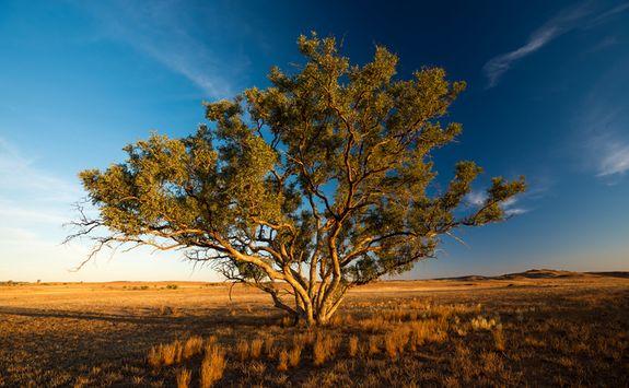 Tree in Flinders