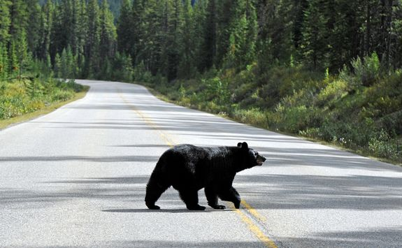 Bear walking on the road