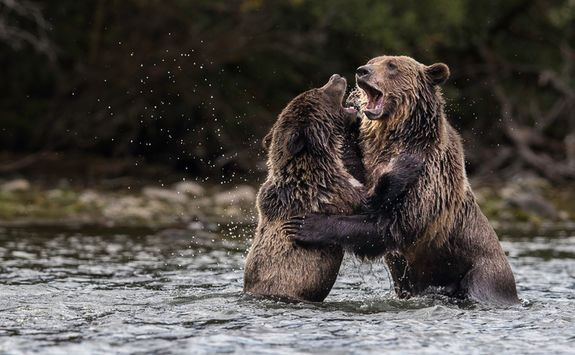 Grizzly bears in the water