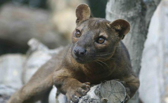 Fossa in Madagascar
