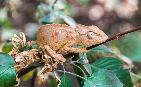 Chameleon in Ankarana