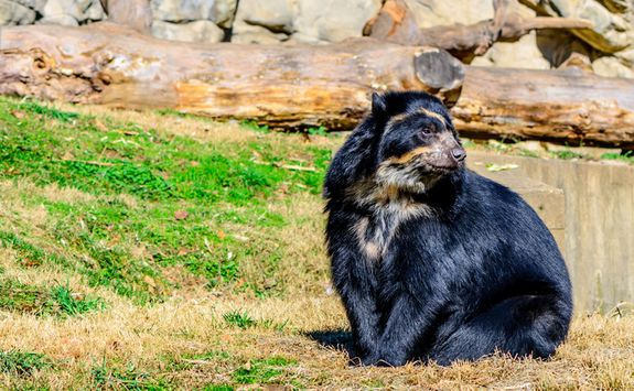 Andean bear by the water