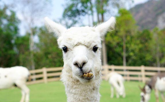 Closeup of llama