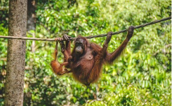 A swinging orangutan