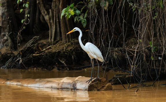 Egret perching