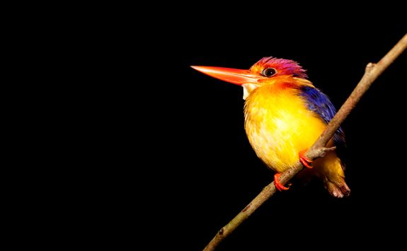 Kingfisher by night