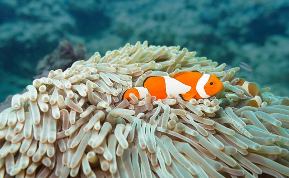 Detail of a clown fish