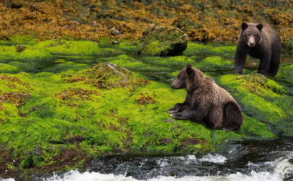 Bears on mossy ground