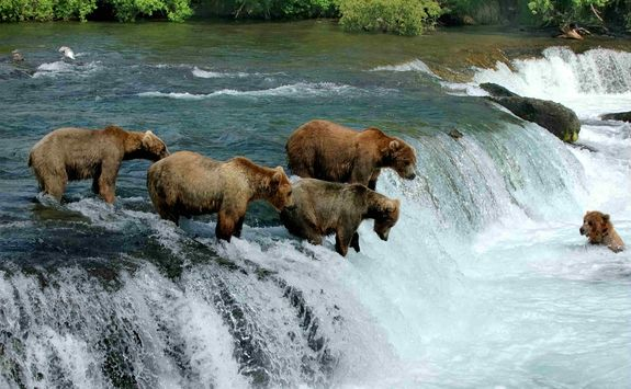 Family of bears fishing