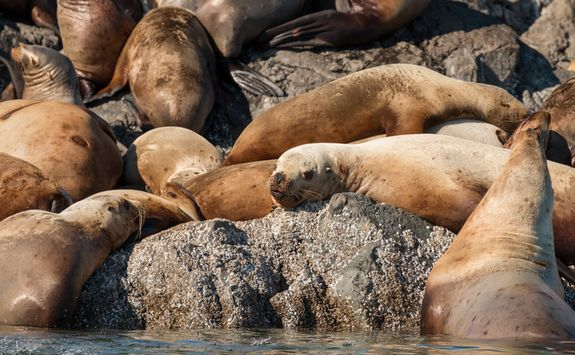 Sea lions reclining on rocks