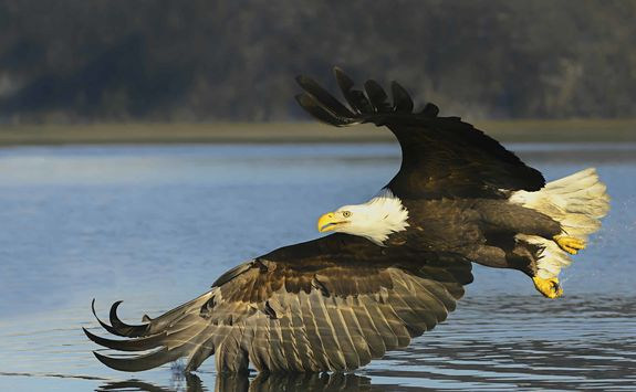 Eagle skimming water